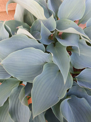Hosta 'Flemish Sky' - New Forest Hostas & Hemerocallis