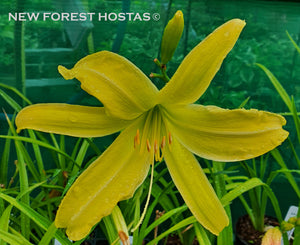 Hemerocallis 'Spider Breeder' - New Forest Hostas & Hemerocallis
