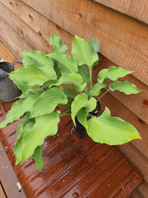 Hosta 'Joy Ride' - New Forest Hostas & Hemerocallis