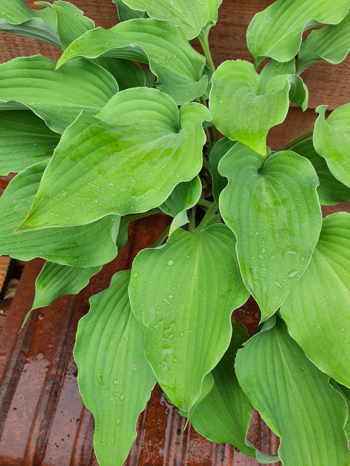 Hosta 'Joy Ride'