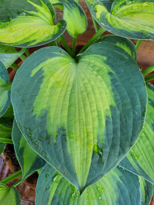 Hosta 'Blue Circle' - New Forest Hostas & Hemerocallis