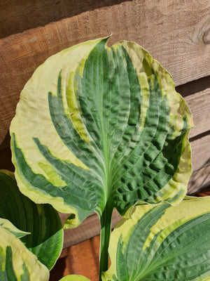 Hosta 'Lakeside Prophecy Fulfilled' - New Forest Hostas & Hemerocallis