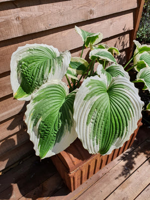Hosta 'Bridal Falls' - New Forest Hostas & Hemerocallis