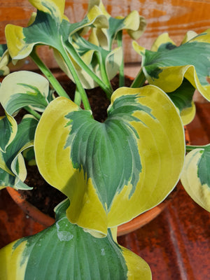 Hosta 'Mini Skirt' - New Forest Hostas & Hemerocallis