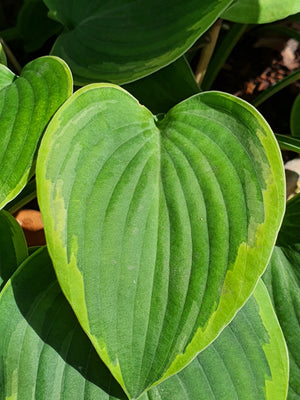 Hosta 'Toy Soldier' - New Forest Hostas & Hemerocallis