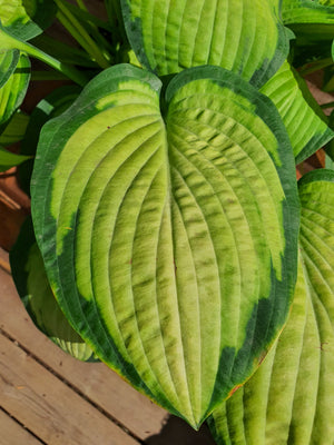 Hosta 'Paul's Glory' - New Forest Hostas & Hemerocallis