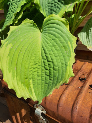 Hosta 'Spartacus' - New Forest Hostas & Hemerocallis