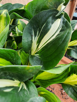 Hosta 'Oreo Cream' - New Forest Hostas & Hemerocallis