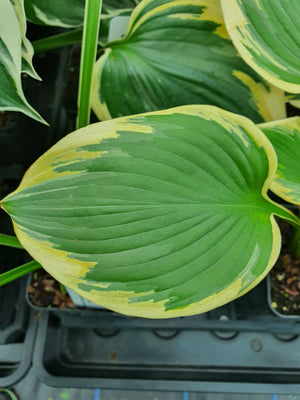 Hosta 'Band Of Gold' - New Forest Hostas & Hemerocallis