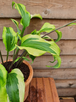 Hosta 'Monkey Business' - New Forest Hostas & Hemerocallis