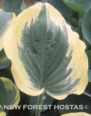 Hosta 'Broadway' - New Forest Hostas & Hemerocallis