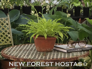 Hosta 'Dragon Tails' - New Forest Hostas & Hemerocallis
