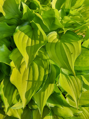 Hosta 'Cracker Crumbs' - New Forest Hostas & Hemerocallis