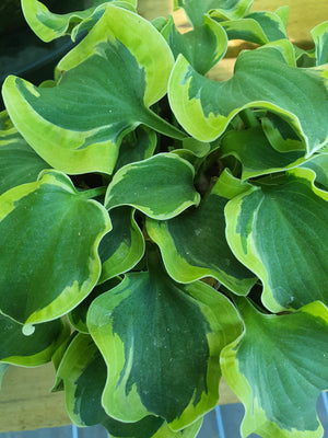 Hosta 'School Mouse' - New Forest Hostas & Hemerocallis