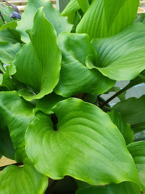 Hosta 'Cranberry Wine' - New Forest Hostas & Hemerocallis