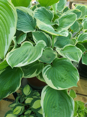 Hosta 'Crusader' - New Forest Hostas & Hemerocallis