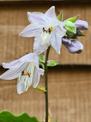 Hosta 'Candy Dish' - New Forest Hostas & Hemerocallis