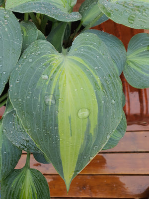 Hosta 'Touch Of Class' - New Forest Hostas & Hemerocallis