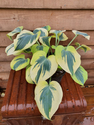 Hosta 'Ben Vernooij' - New Forest Hostas & Hemerocallis