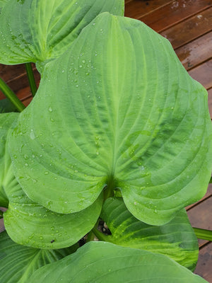 Hosta 'Avocado' - New Forest Hostas & Hemerocallis