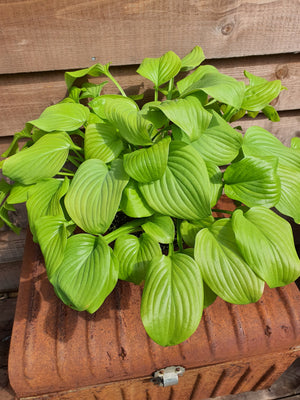 Hosta 'Tortilla Chip' - New Forest Hostas & Hemerocallis