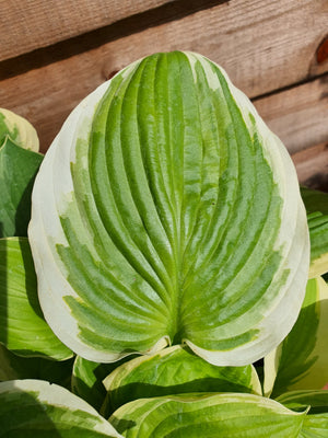 Hosta 'Tropicana' - New Forest Hostas & Hemerocallis
