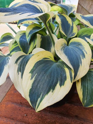 Hosta 'Autumn Frost' - New Forest Hostas & Hemerocallis