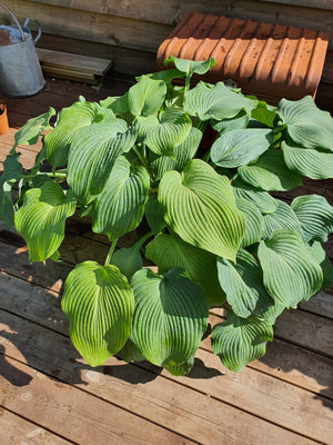 Hosta 'Bressingham Blue' - New Forest Hostas & Hemerocallis