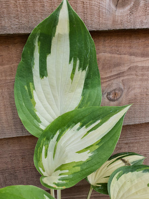 Hosta 'Christmas Candy' - New Forest Hostas & Hemerocallis