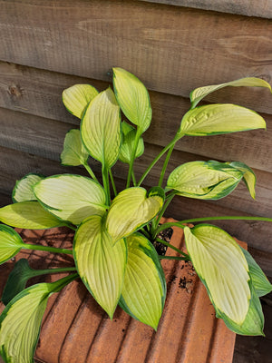 Hosta 'Gold Standard' - New Forest Hostas & Hemerocallis