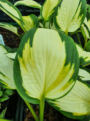 Hosta 'Georgia Sweetheart' - New Forest Hostas & Hemerocallis