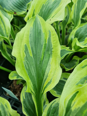 Hosta 'Paisley Border' - New Forest Hostas & Hemerocallis
