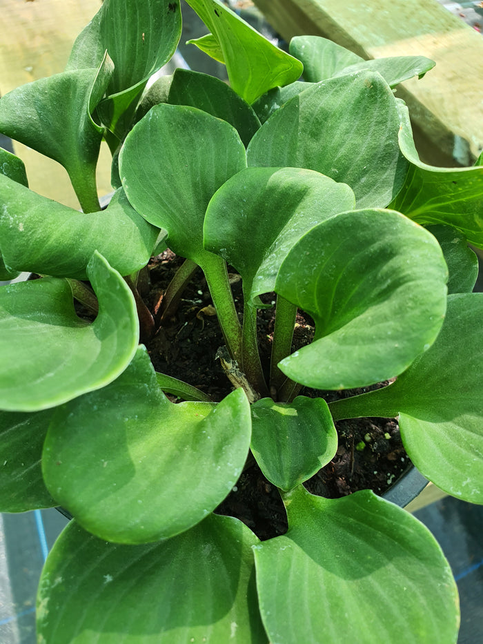 Hosta 'You're So Vein'