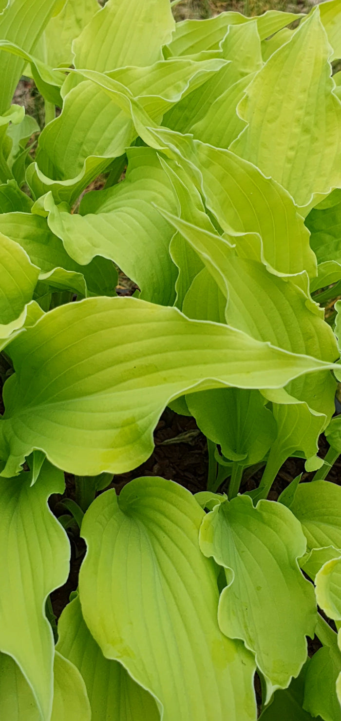 Hosta 'Marrakech'