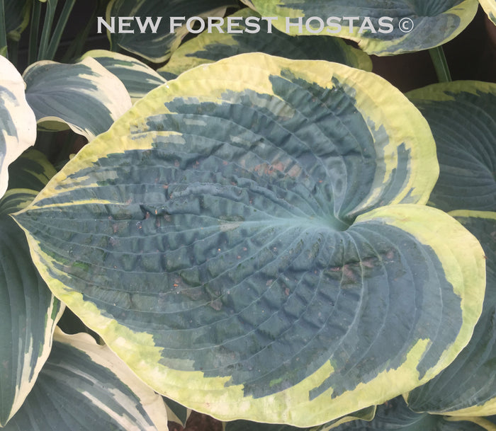 Hosta 'Sugar Daddy'