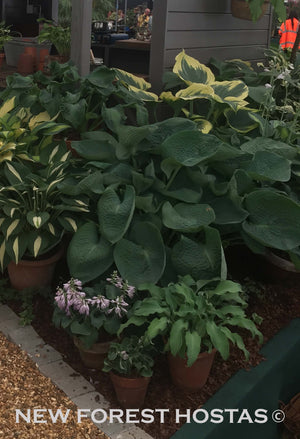 Hosta 'Abiqua Drinking Gourd' - New Forest Hostas & Hemerocallis