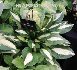Hosta 'Alan Titchmarsh' - New Forest Hostas & Hemerocallis