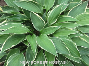Hosta 'Allan P. McConnell' - New Forest Hostas & Hemerocallis