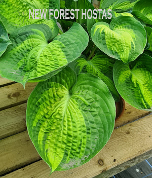 Hosta 'Alligator Alley' - New Forest Hostas & Hemerocallis