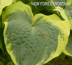 Hosta 'American Halo' - New Forest Hostas & Hemerocallis