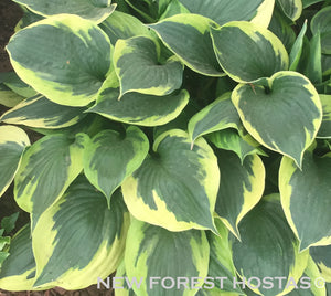 Hosta 'Anne' x 3 - New Forest Hostas & Hemerocallis