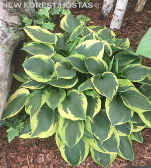 Hosta 'Anne' - New Forest Hostas & Hemerocallis