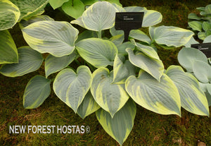 Hosta 'Aristocrat' - New Forest Hostas & Hemerocallis