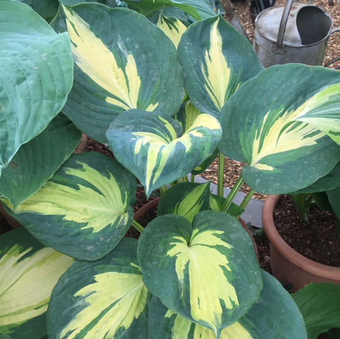 Hosta 'Beach Boy'