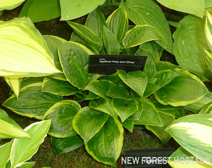 Hosta 'Bedford Rise and Shine'