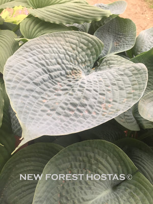 Hosta 'Big Daddy' - New Forest Hostas & Hemerocallis
