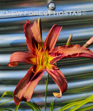 Hemerocallis 'Black Arrowhead' - New Forest Hostas & Hemerocallis