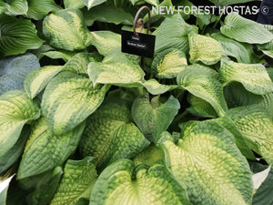Hosta 'Brother Stefan' - New Forest Hostas & Hemerocallis