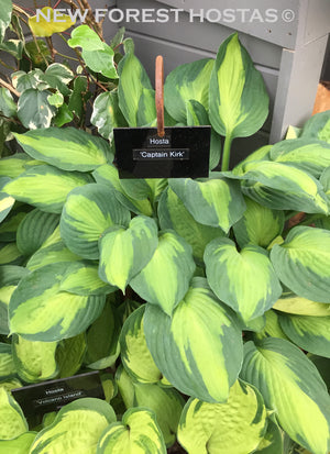 Hosta 'Captain Kirk' - New Forest Hostas & Hemerocallis