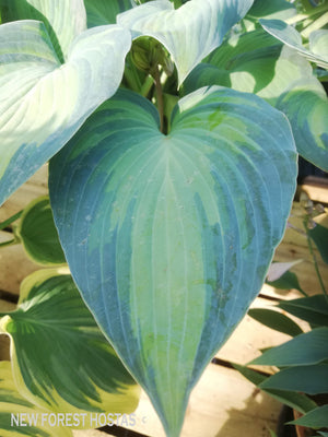 Hosta 'Catherine' - New Forest Hostas & Hemerocallis